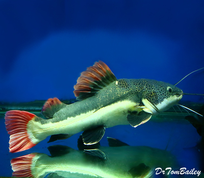 Premium Rare South American Redtail Catfish, Size: 5