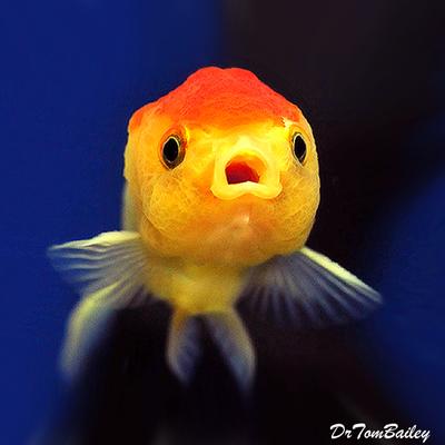 Premium Red & White Lionhead Goldfish, Size: 2