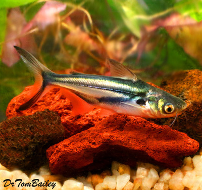 Premium New and Rare, Black Ear Pangasius Catfish, Size: 3