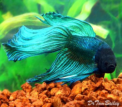Premium MALE Blue-Green Betta Fish, Size: 2.5