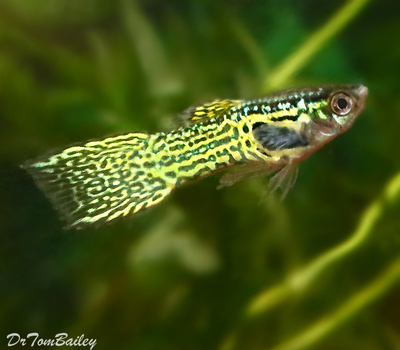 Premium MALE Cobra Endler's Livebearer, Nano Fish, Size: 1
