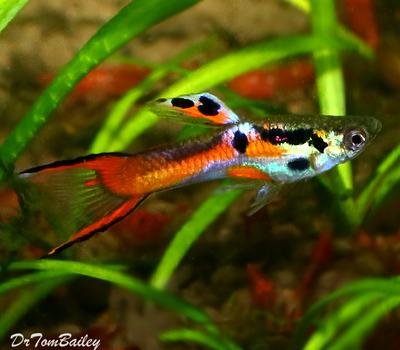 Premium MALE Endler's Livebearer, Nano Fish, Size: 0.75
