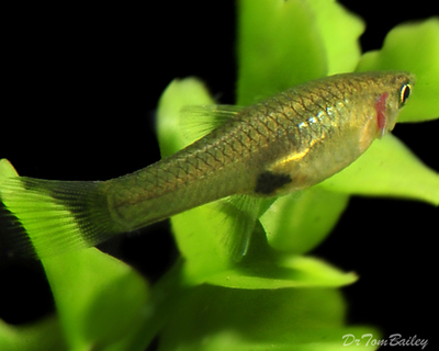 Premium FEMALE Endler's Livebearer, Nano Fish, Size: 1