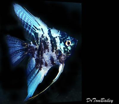 Premium Rare Marbled Blue Angelfish