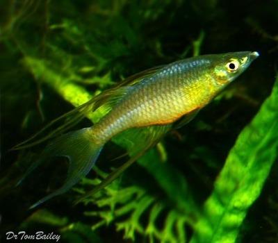 Premium Threadfin Rainbowfish, Nano Fish, Size: 1