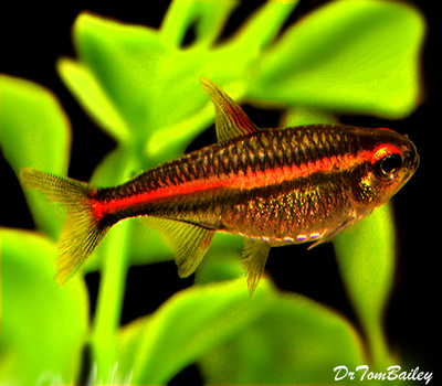 Premium Glowlight Tetra, Nano Fish, Size: 0.75