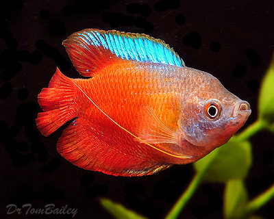 Premium MALE Young Fire Red Dwarf Gourami, Size: 2