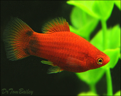 Premium Red Mickey Mouse Platy, Size: 1