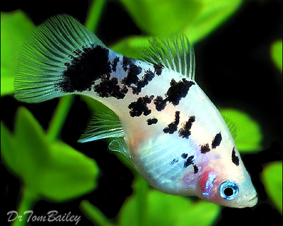 Premium New and Rare, Dalmatian Platy, Size: 1