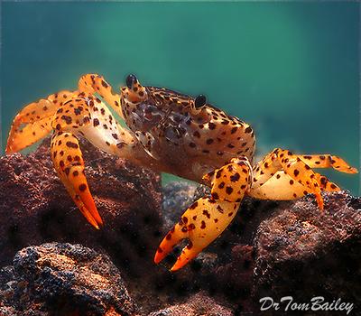 Premium Freshwater Panther Crab, Size: 1