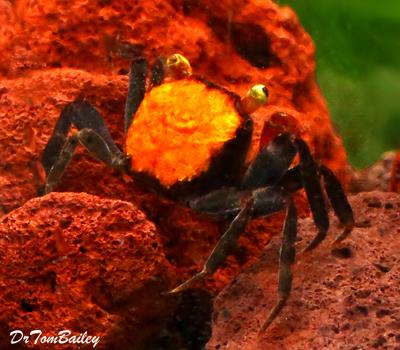 Premium Freshwater Red Devil Crab, Size: 1