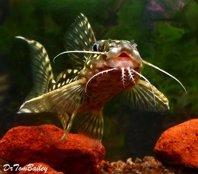 Premium Rare WILD, Polka Dot Squeaker Catfish, Synodontis Angelicus, Size: 4