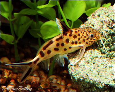 Premium Rare Synodontis Multipunctatus Catfish, Size: 2.5