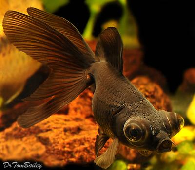 Premium Black Moor Goldfish, Size: 3