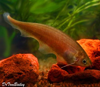 Premium WILD, African Black Knifefish, Size: 3.5