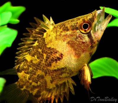 Premium African Leaf Fish, Size: 1.5