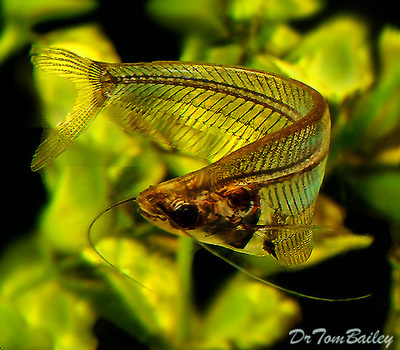 Premium Ghost Catfish, Size: 2