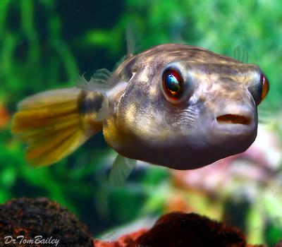 Premium Freshwater Fahaka Pufferfish, Size: 2
