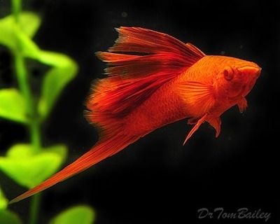 Premium MALE Rare Hifin Red-Eye Red Swordtail, Size: 2
