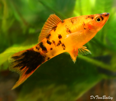 Premium Rare and New, Gold Spotted Swordtail, Size: 2