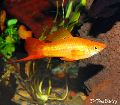 Premium Marigold Swordtail, Size: 1.5