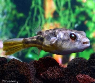 Premium Freshwater Fahaka Pufferfish, Size: 4