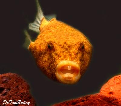 Premium Freshwater Congo Miurus Pufferfish, Size: 2.5