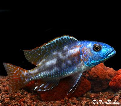 Premium Lake Malawi Fusco Hap Cichlid, Size: 3