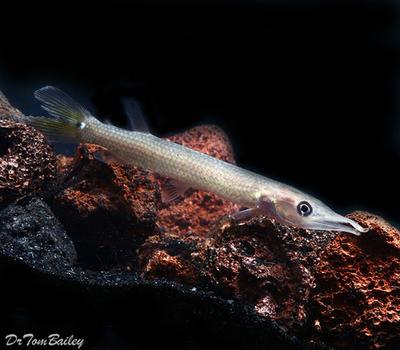 Premium Freshwater Silver Hujeta Gar Fish, Size: 2