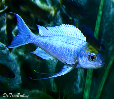 Premium MALE Lake Tanganyika Opthalmotilapia Ventralis, Chaitika Black Head Variation, Cichlid