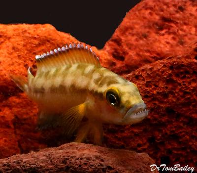 Premium Rare and New, Lake Tanganyika Buescheri Gombe Cichlid