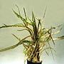 Premium Cryptocoryne Retrospiralis, Potted Plant, Size: 3