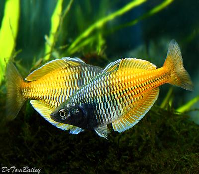 Premium Boesemani Rainbowfish, Size: 1