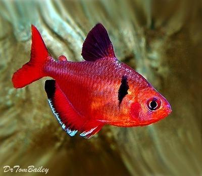 Premium Red Serpae Tetra, Size: 1