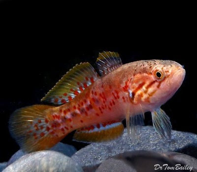 Premium Purple Spotted Gudgeon, Size: 2.5