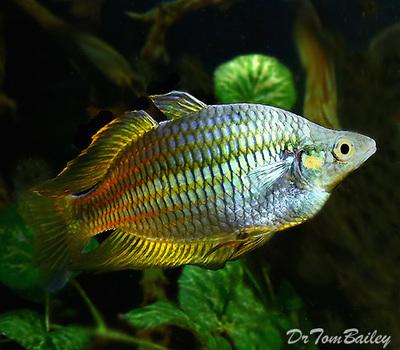 Premium Rare Golden Parkinson's Rainbowfish, Size: 2.5