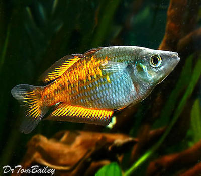 Premium Orange Parkinson's Rainbowfish, Size: 2