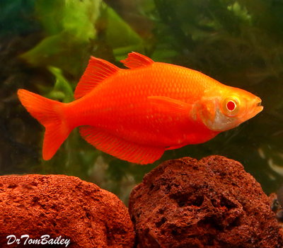 Premium Rare New, Albino Millennium Rainbowfish, Size: 2.5
