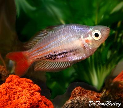 Premium Rare MacCullochi Rainbowfish, Size: 1.5