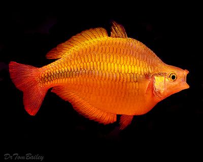 Premium Lake Tebera Yellow Rainbowfish, Size: 2