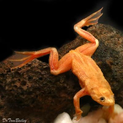 Premium Rare Golden African Dwarf Frog, Size: 1