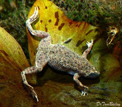 Premium African Dwarf Frog, Size: 1