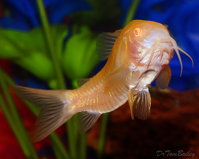 Premium Albino Aeneus Corydoras Catfish, Size: 1