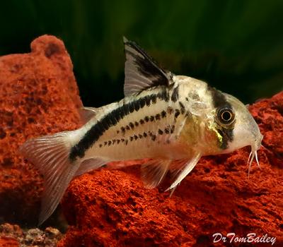 Premium WILD, New and Rare Loxozonus Corydoras Catfish, Size: 1
