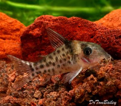 Premium WILD, New and Rare Ambiacus Corydoras Catfish, Size: 1.5