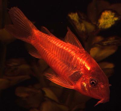 Premium Red Neon Cory Catfish, Size: 1.5
