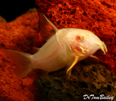 Premium Albino Corydoras Sterbai Catfish, Size: 1