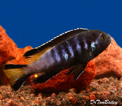 Premium New and Exciting, Chewere Elongatus Mbuna Cichlid, Size: 1.5