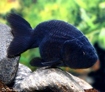 Premium Rare Black Ranchu Goldfish, Size: 1.5