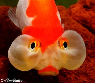 Premium Red & White Bubble-Eye Goldfish, Size: 2